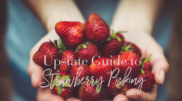 strawberry picking in upstate