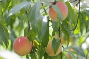 peaches in orchard
